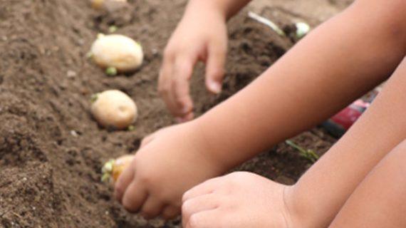 ジャガ芋種芋植え